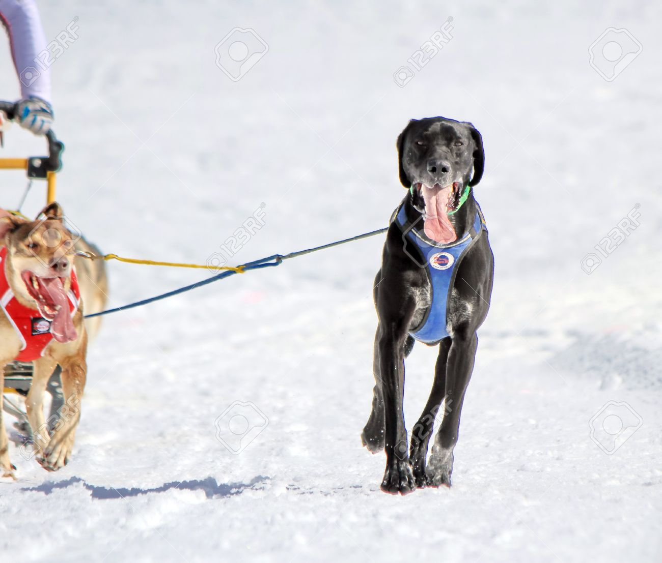 A eurohound sled dog at work in a race by winter Stock Photo - 18574689