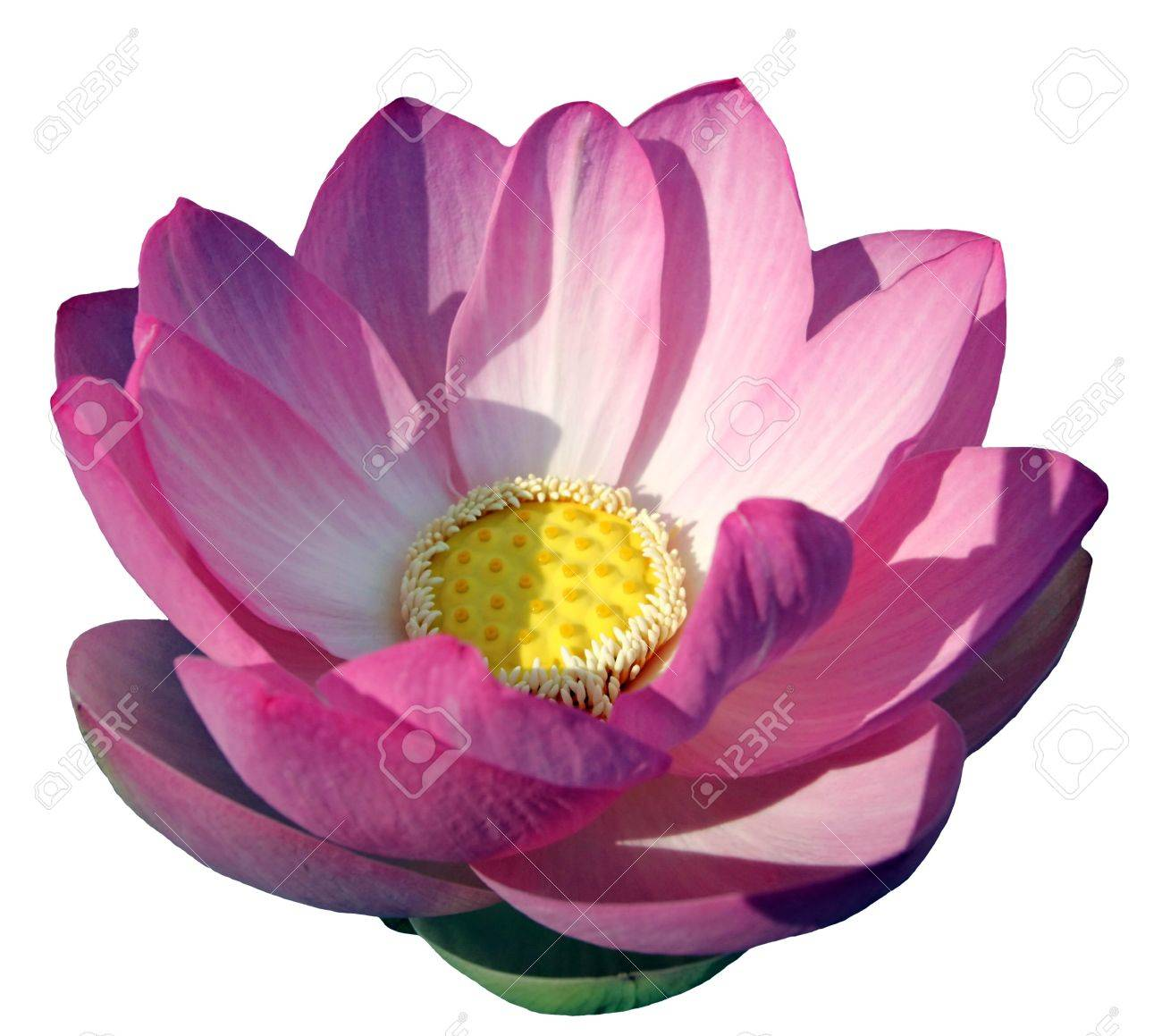 Close Up On Beautiful Water Lily Or Lotus Flower And Leaves In