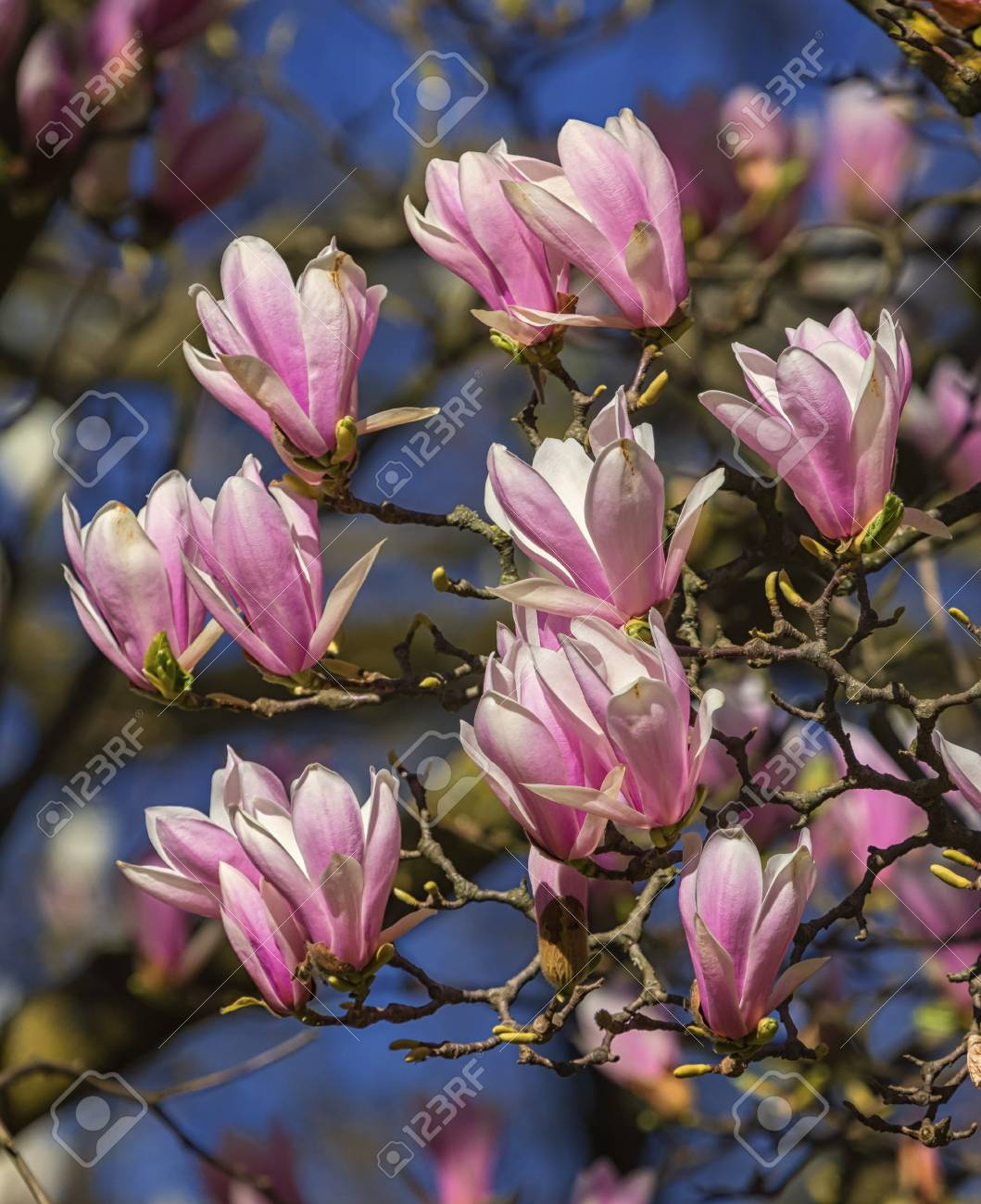 Huangshan Magnolia Cylindrica Flowers Stock Photo Picture And
