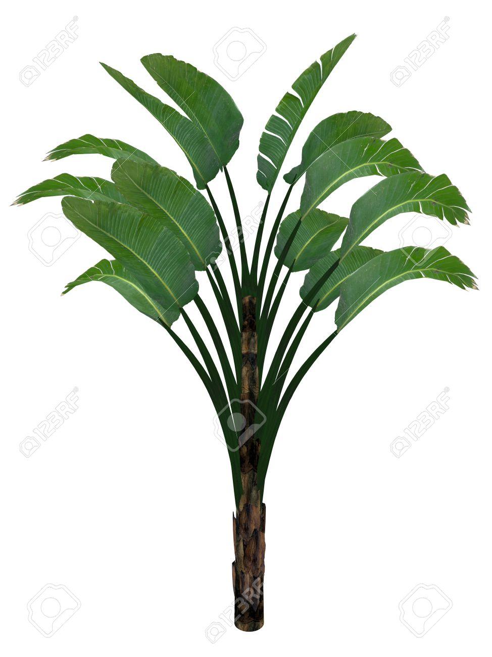 Giant White Bird Of Paradise Or Wild Banana Tree Strelitzia Stock