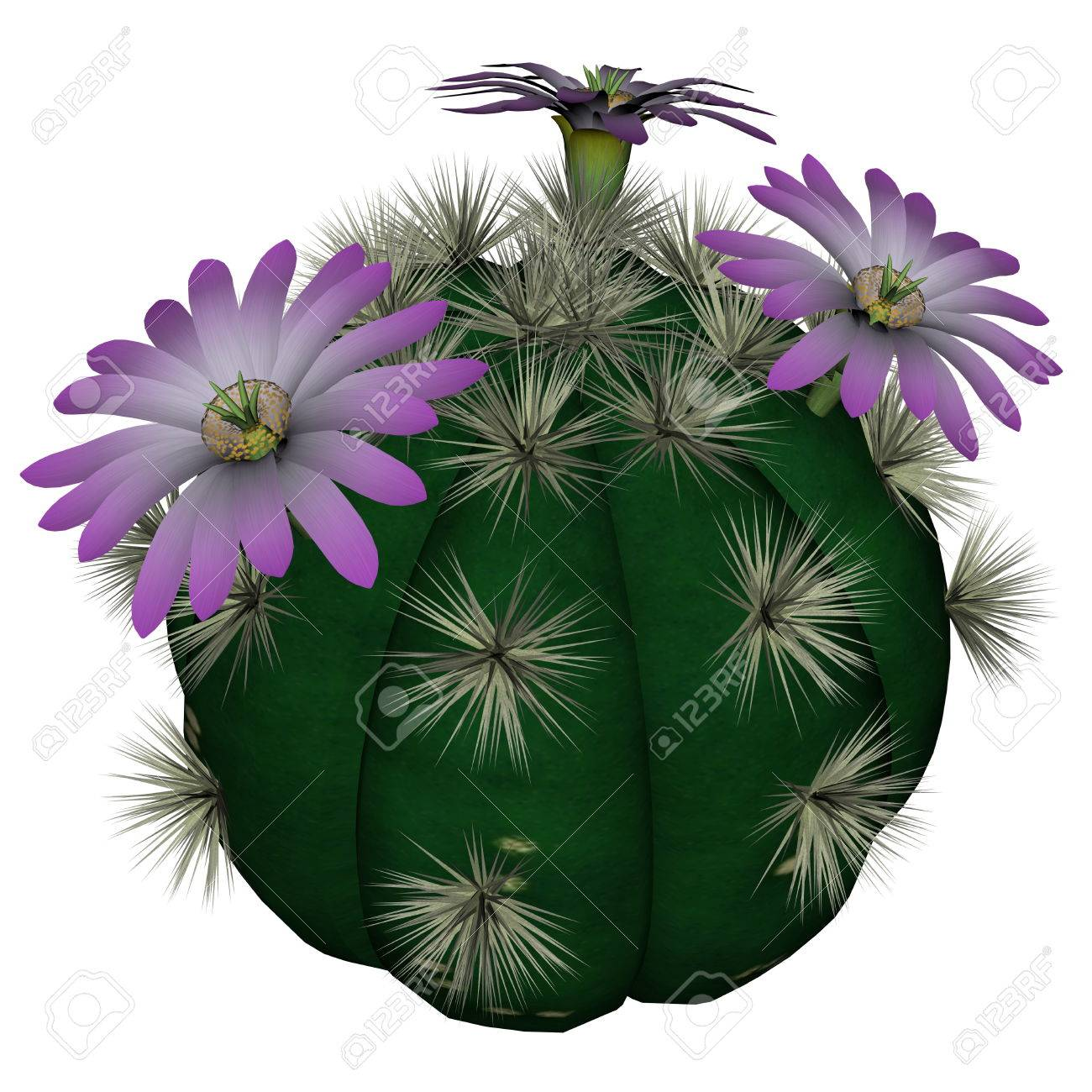 Spherical Cactus With Violet Flowers Isolated In White Background