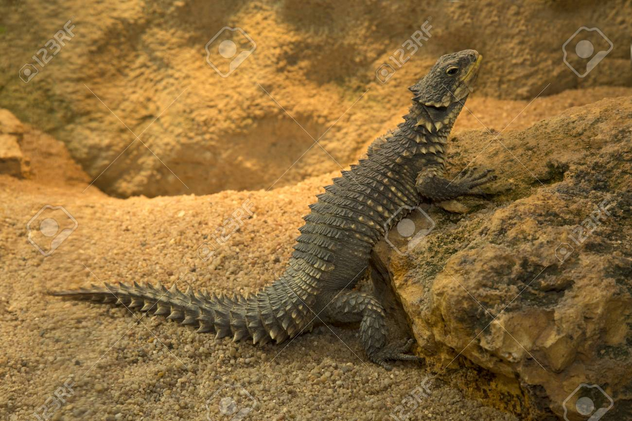 Sungazer Giant Girdled Lizard Or Giant Dragon Lizard Or Giant Stock Photo Picture And Royalty Free Image Image 101831426