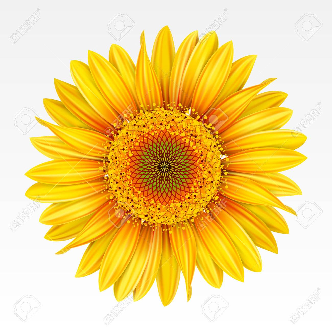 31424 sunflower cliparts stock vector and royalty free sunflower yellow sunflower on the white background mesh illustration mightylinksfo Choice Image