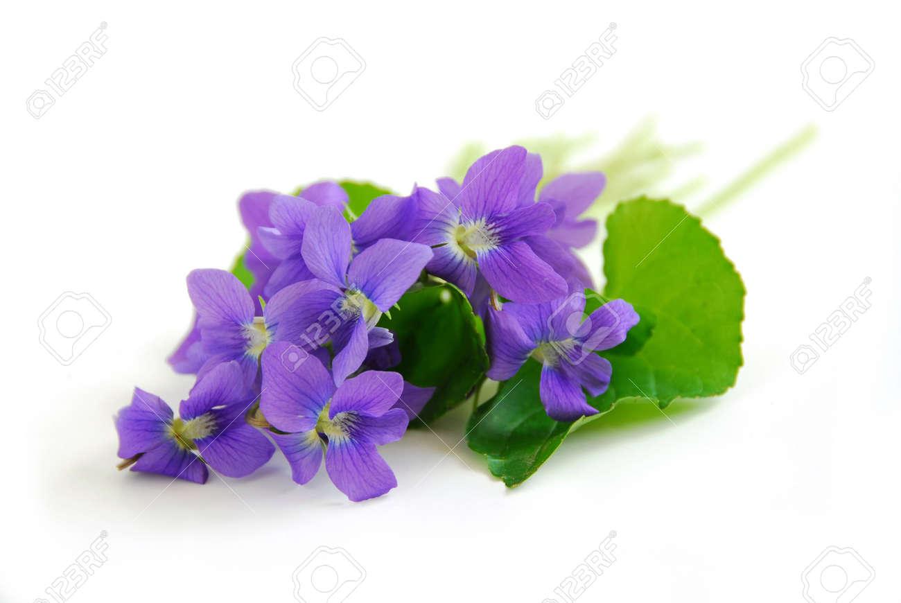 Pretty Purple Flowers White Background  violets  violet  flowers
