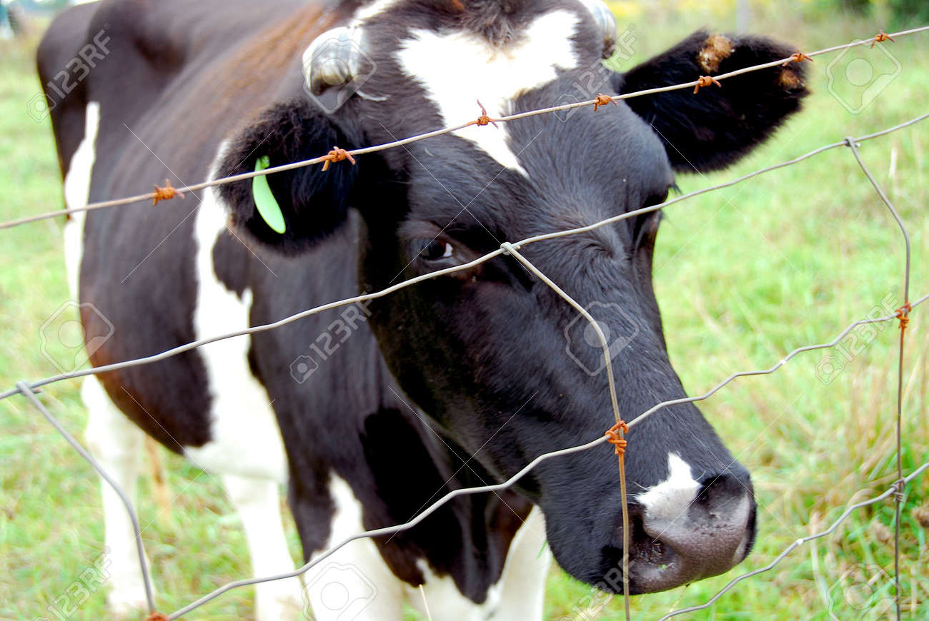 barbed wire fence cattle. Spotted Black And White Cow Behind Barbed Wire Fence Stock Photo - 546813 Cattle C