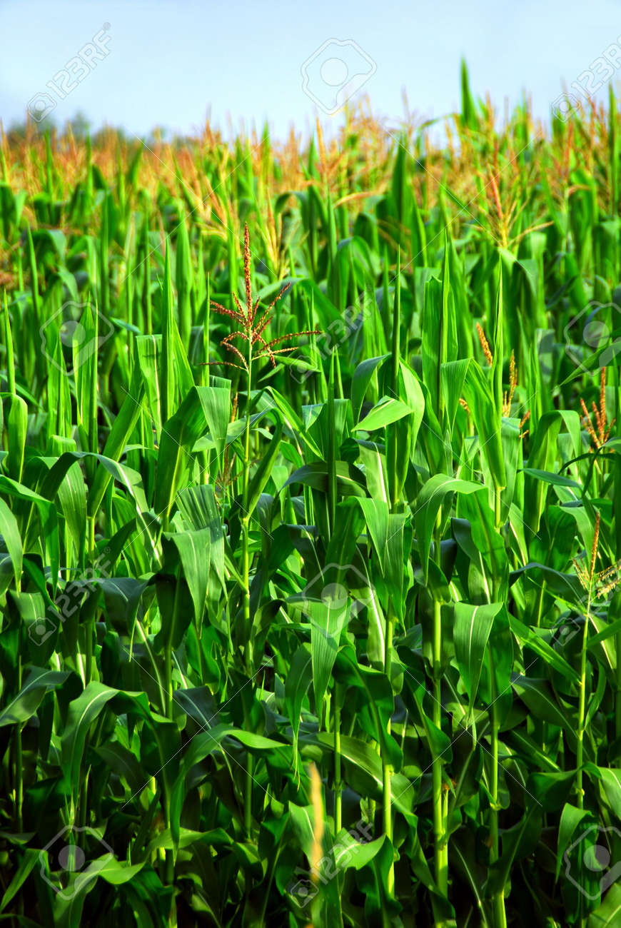 Tall green corn growing in a field close up Stock Photo - 557774