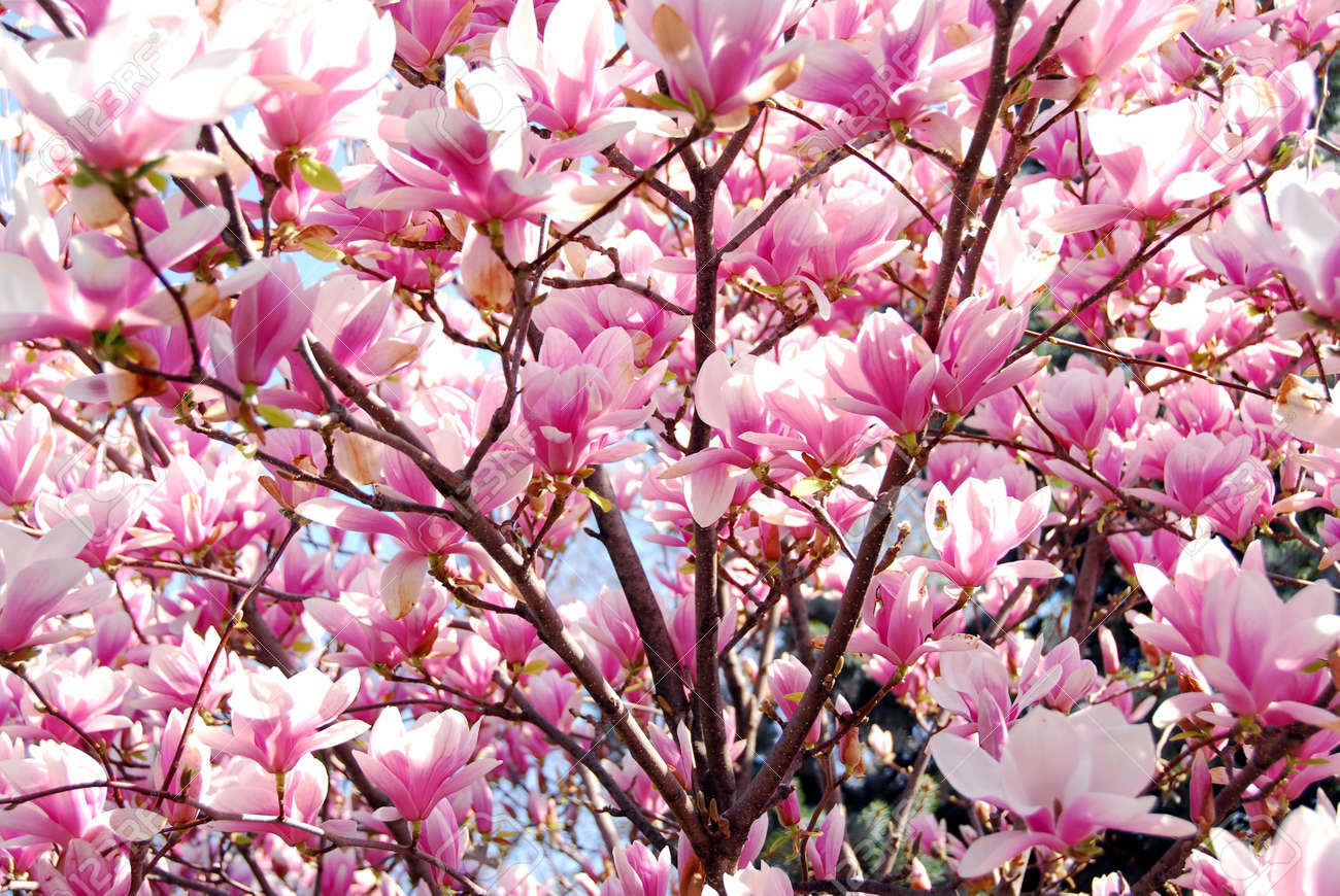 Image result for pic of a magnolia tree in bloom