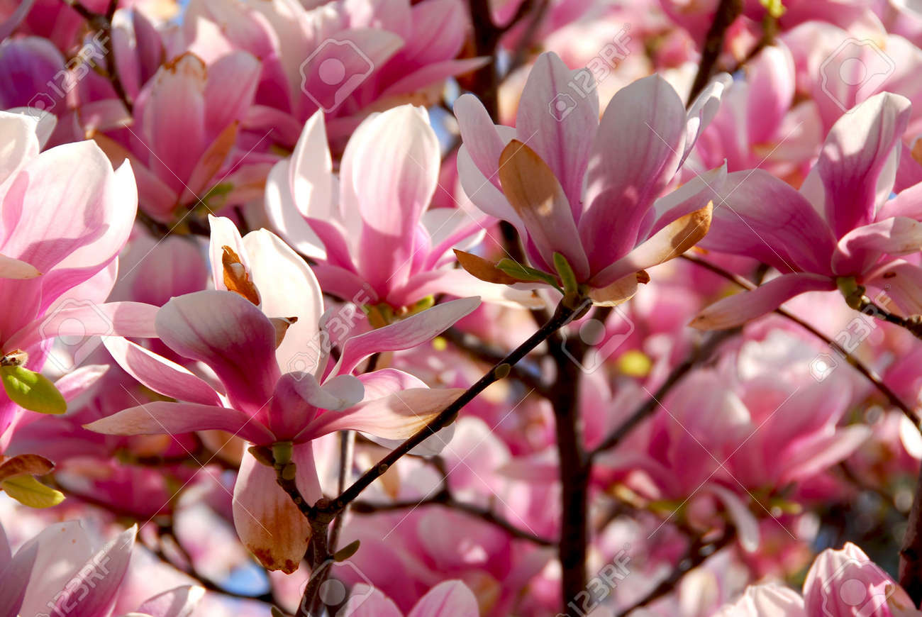 Background Of Blooming Magnolia Tree With Big Pink Flowers Stock