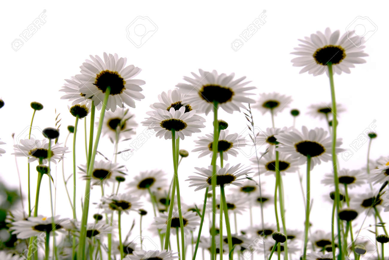 Row of wild daisies isolated on white background Stock Photo - 733364