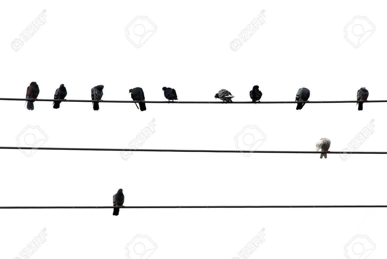 Birds Sitting On Wires Isolated On White Background Stock Photo ...
