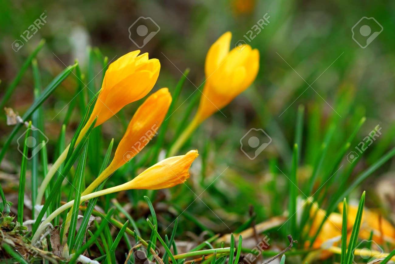 Macro image of a yellow crocus flowers blooming in early spring macro image of a yellow crocus flowers blooming in early spring stock photo 861190 dhlflorist Choice Image