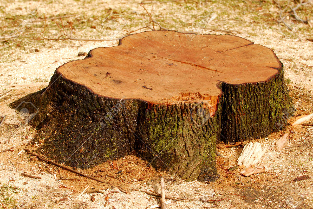 Stump of a freshly cut tree surrounded by saw dust Stock Photo - 865787