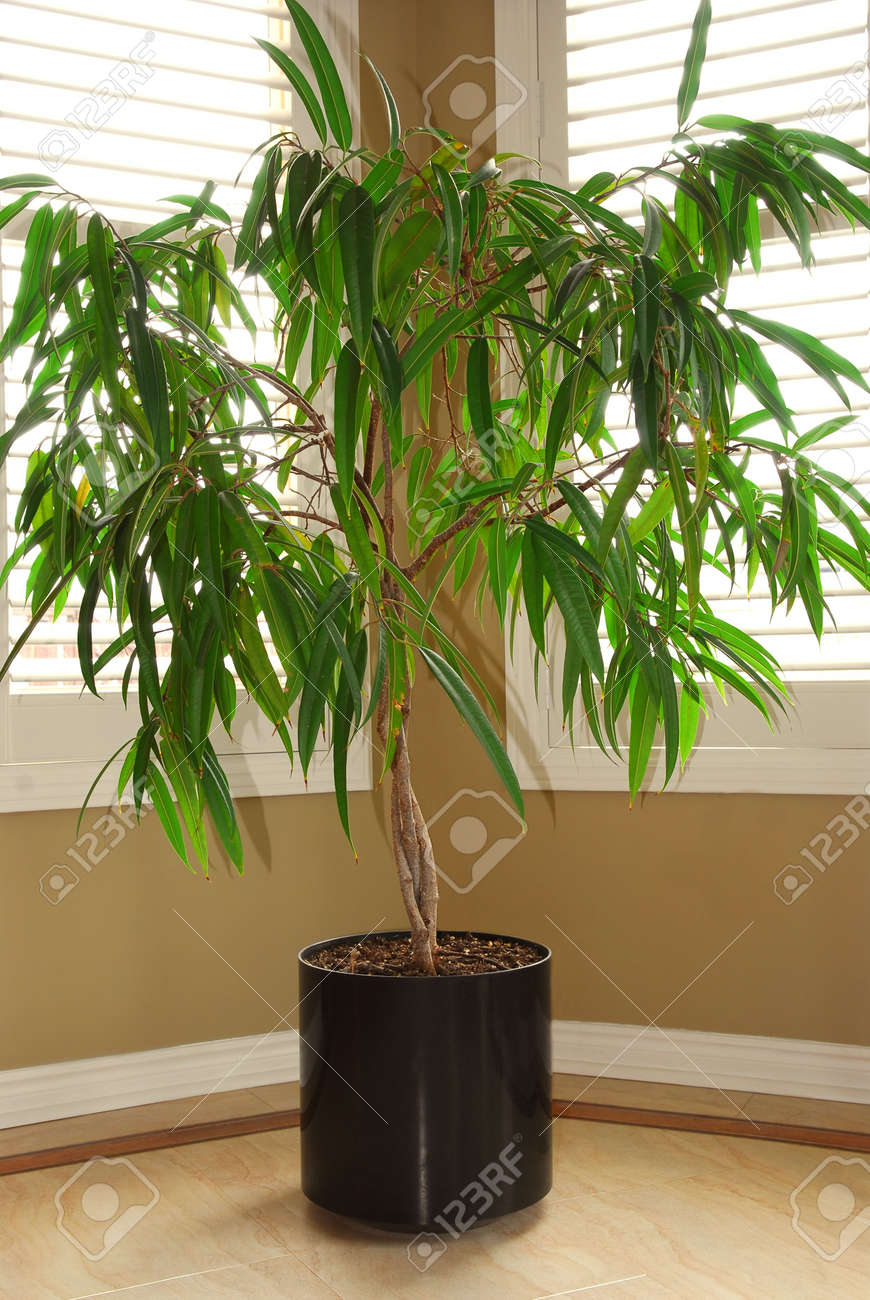tropical house plant in a pot and windows with blinds stock photo