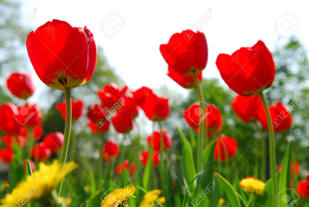 Red Tulips And Yellow Dandelions Flowers Blooming In A Spring