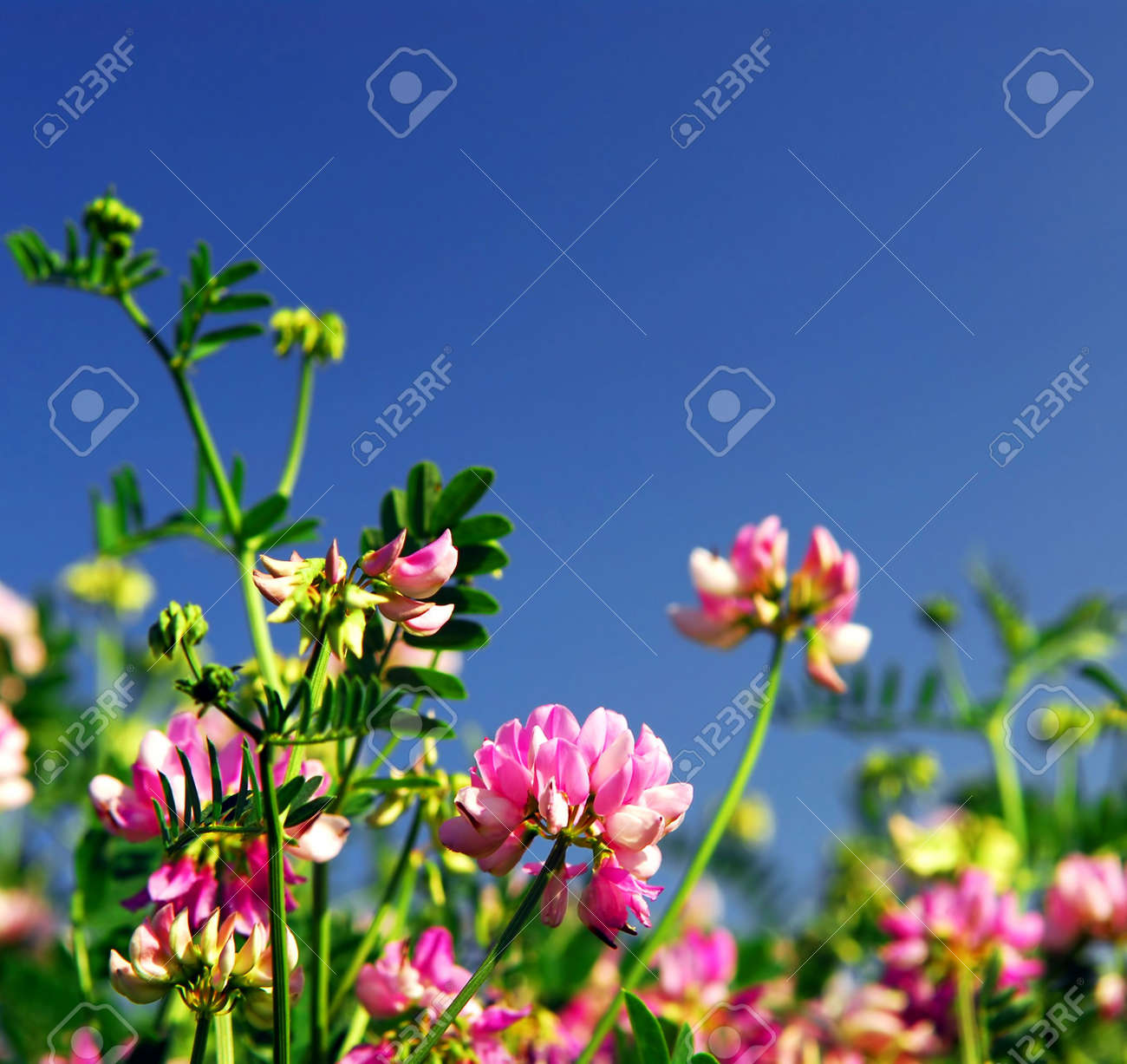 Summer meadow background with blooming pink flowers crown vetch stock photo summer meadow background with blooming pink flowers crown vetch and bright blue sky izmirmasajfo