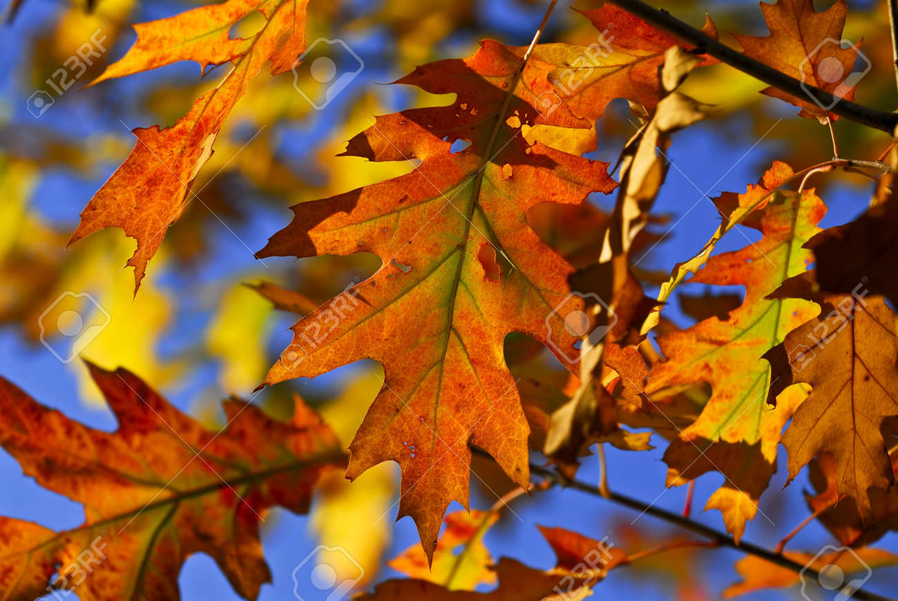 Autumn Oak Leaves Of Bright Fall Colors Close Up Stock Photo Picture And Royalty Free Image Image 3185389