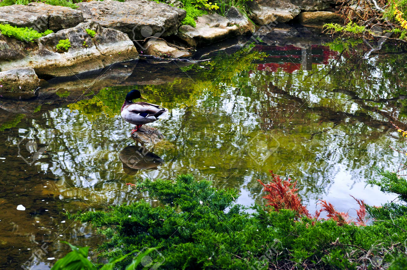 Japanese zen gardens with pond - Pond With Natural Stones In Japanese Zen Garden Stock Photo 3343656