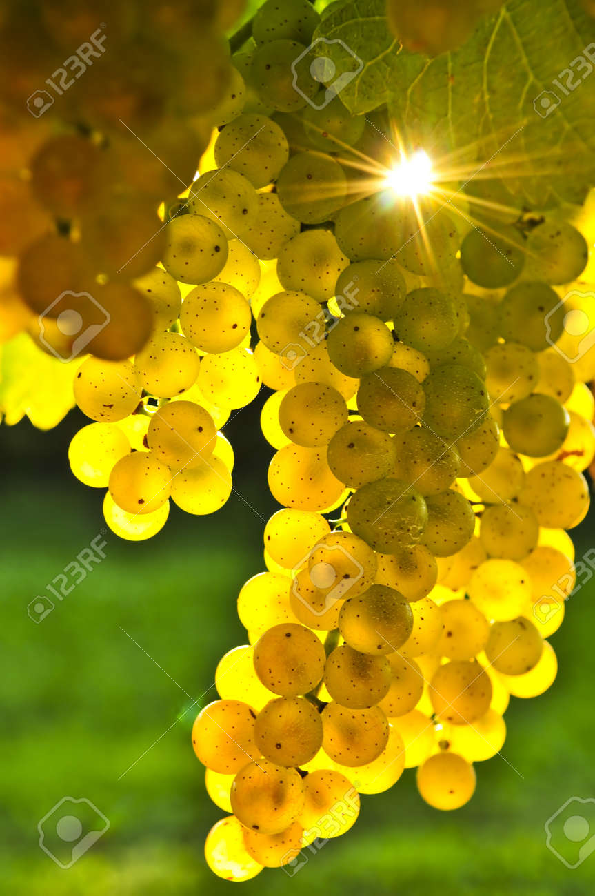 Yellow Grapes Growing On Vine In Bright Sunshine Stock Photo ...