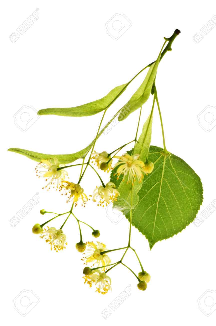 Isolated image of yellow linden flower and branch - 5553914