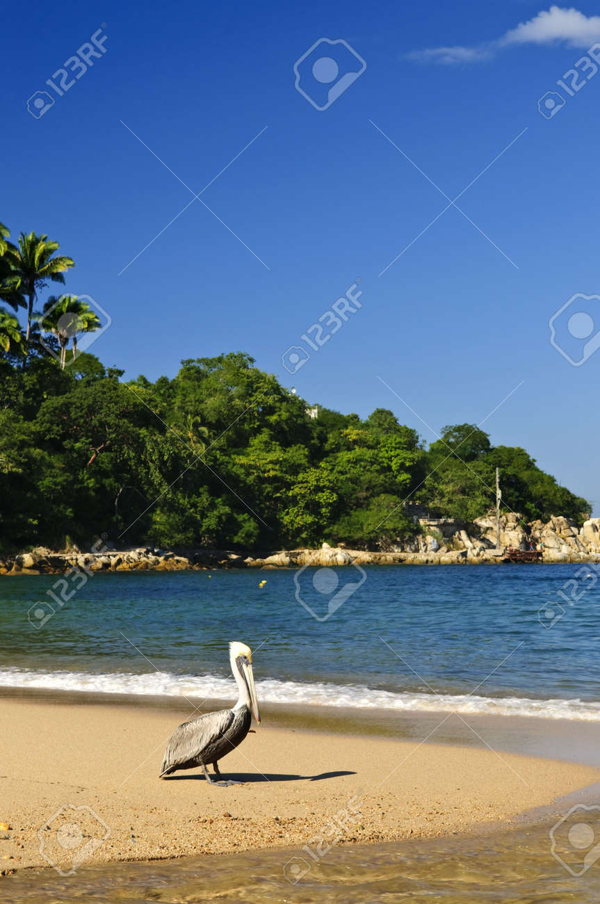Pelican on beach near Pacific ocean in Mexico Stock Photo - 6526991