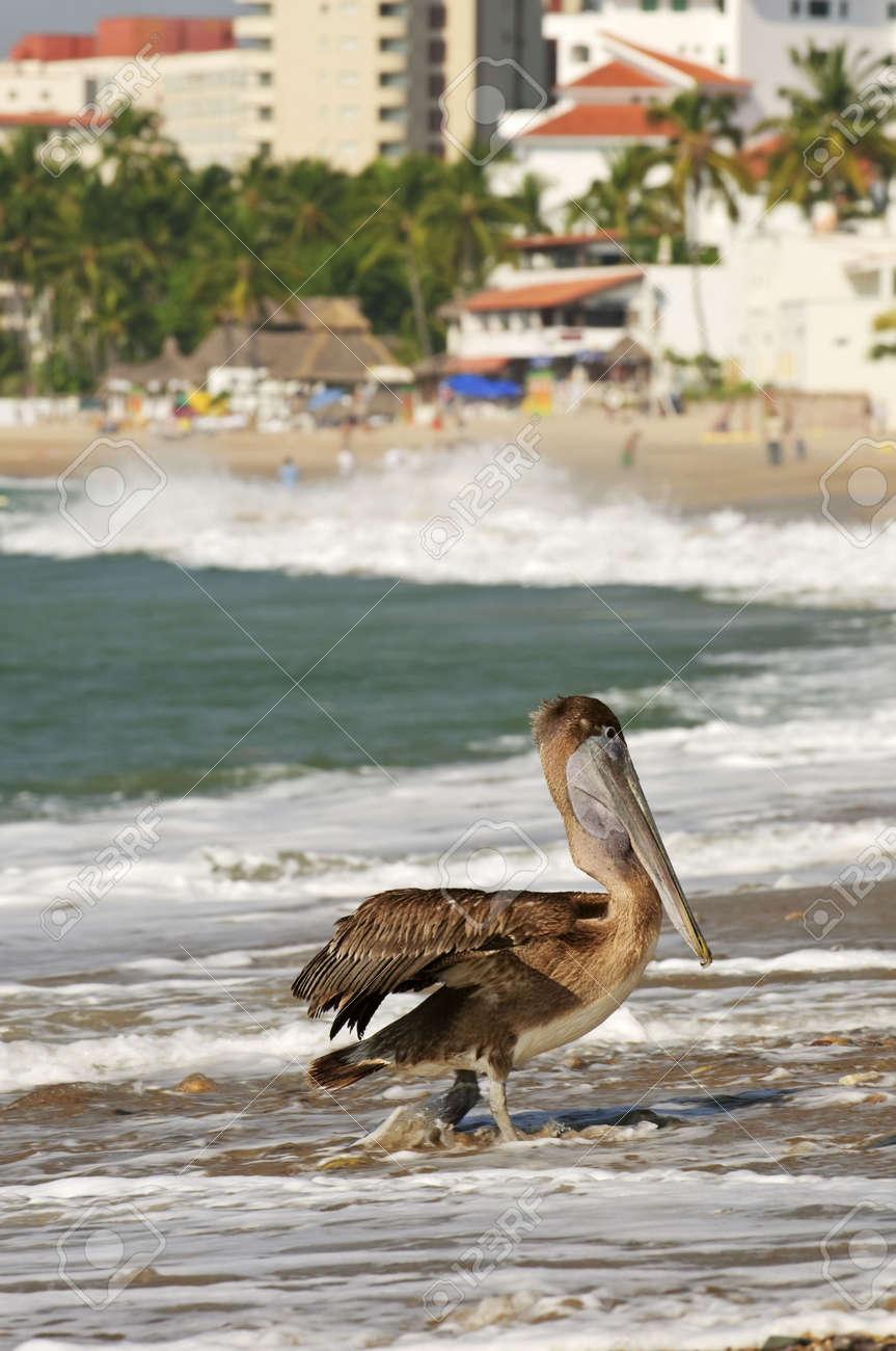 Pelican on Puerto Vallarta beach in Mexico Stock Photo - 6621579