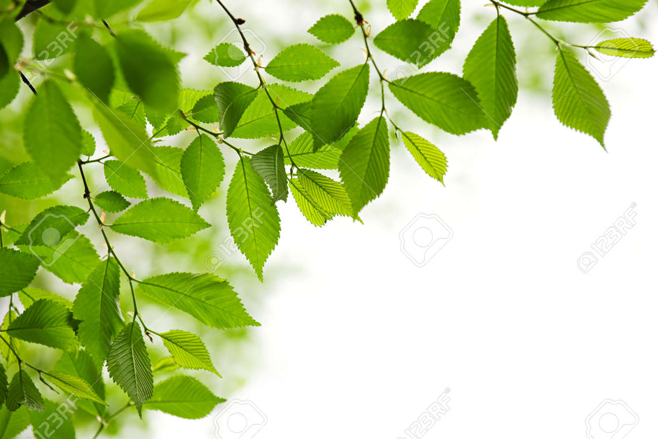 Green spring leaves isolated on white background Stock Photo - 7305395