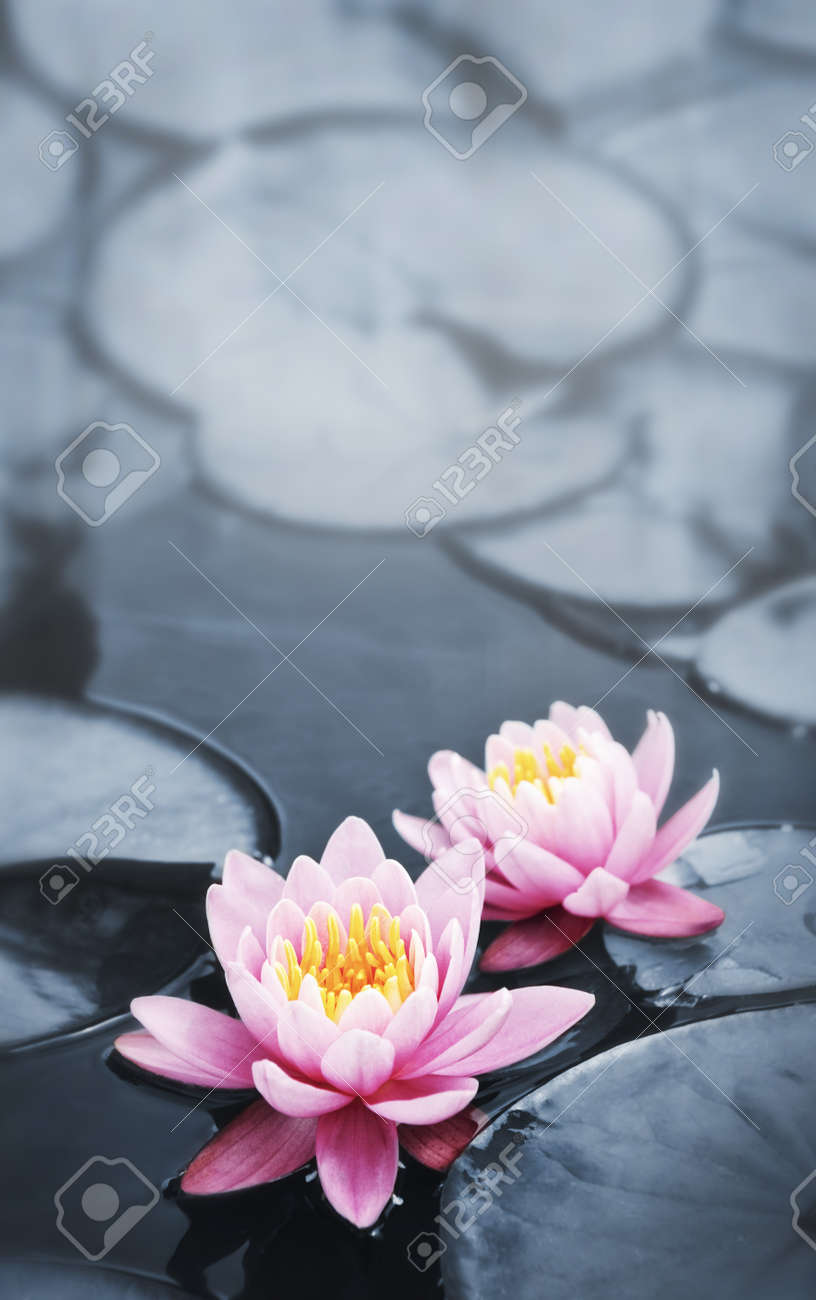 Pink Lotus Blossoms Or Water Lily Flowers Blooming On Pond Stock