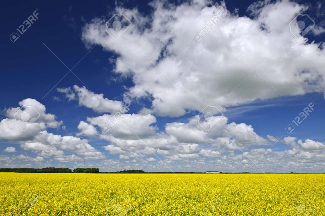 Agricultural landscape of canola or rapeseed farm field in Manitoba, Canada Stock Photo - 8163250