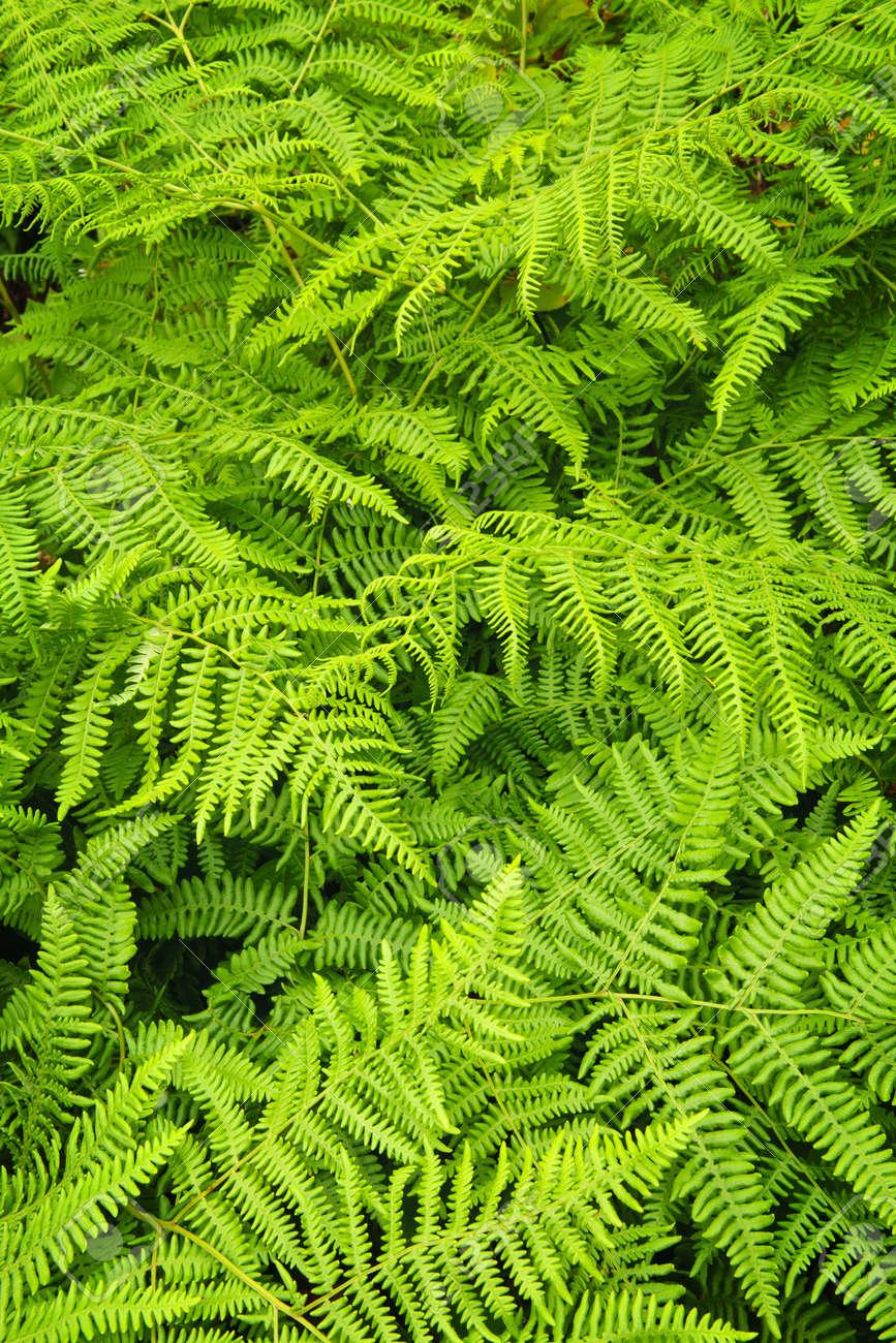 Background of lush bright green fern plants Stock Photo - 9417873