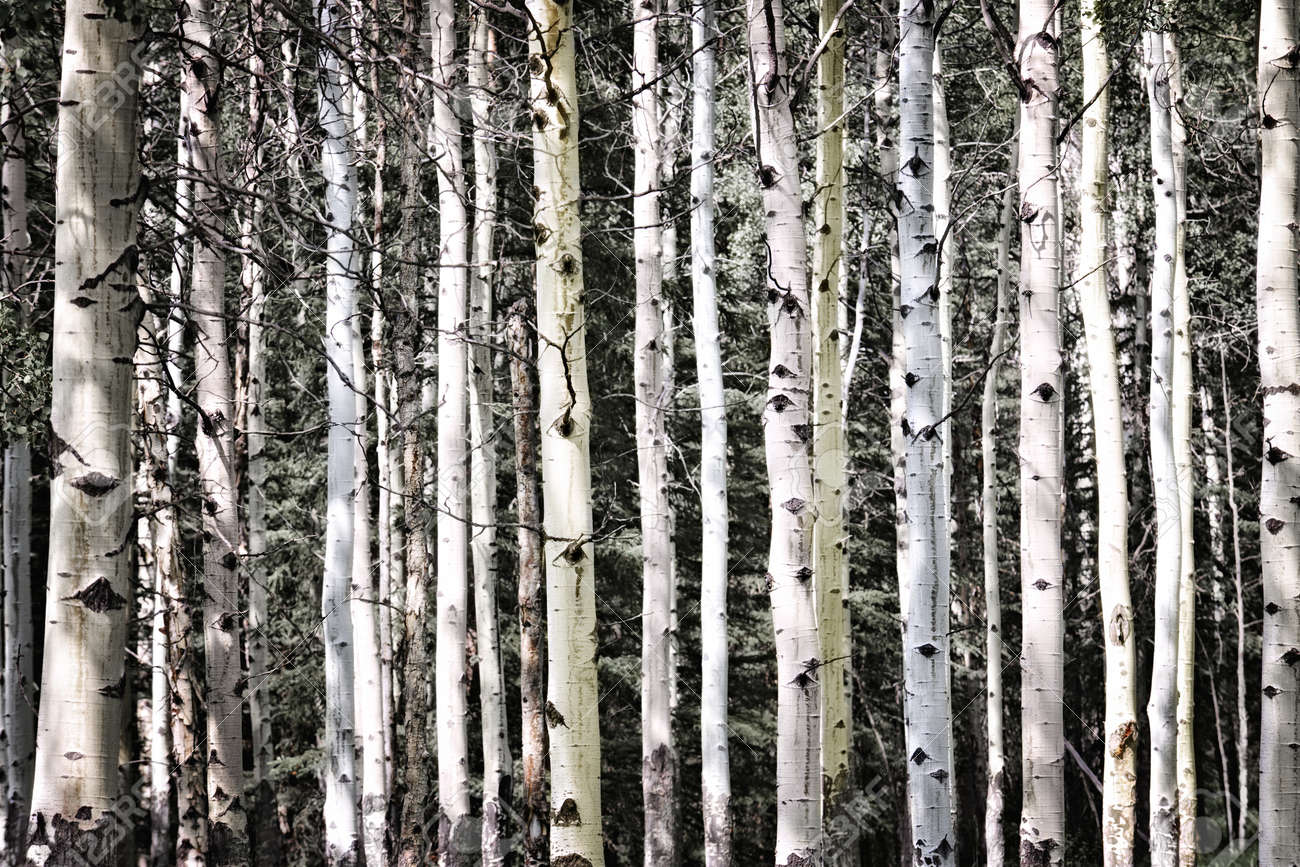 Aspen tree trunks in forest as natural background Stock Photo - 9431953