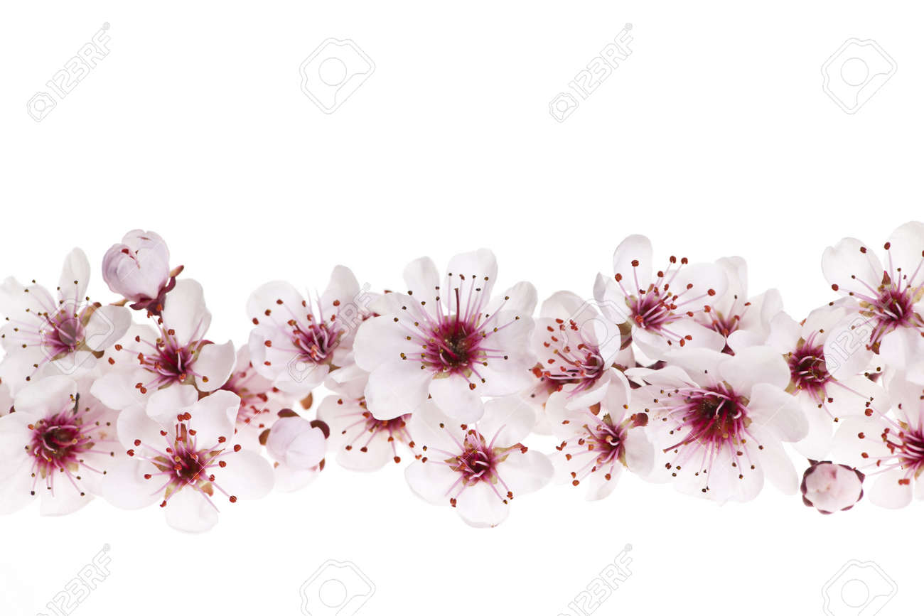Border Of Beautiful Cherry Blossom Flowers On White Background Stock