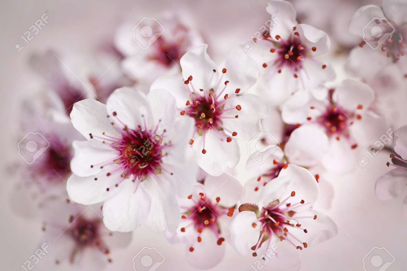 Cluster of beautiful pink cherry blossom flowers stock photo cluster of beautiful pink cherry blossom flowers stock photo 13558545 mightylinksfo