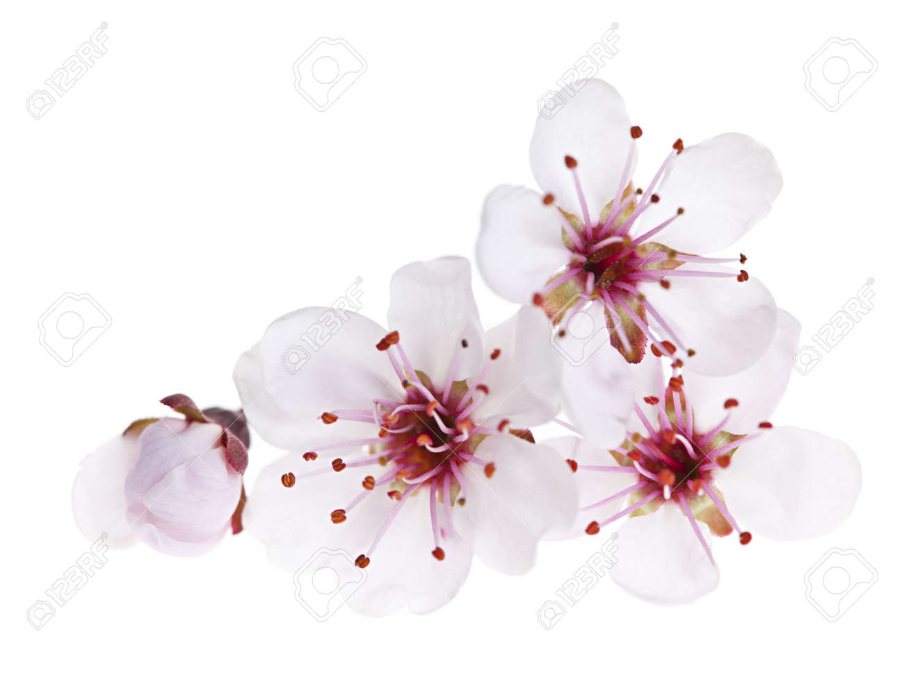 Cherry blossom flowers close up isolated on white background stock cherry blossom flowers close up isolated on white background stock photo 13558493 mightylinksfo