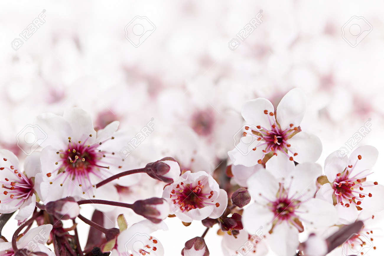 Beautiful pink cherry blossom flowers blooming in spring stock beautiful pink cherry blossom flowers blooming in spring stock photo 13558522 dhlflorist Choice Image