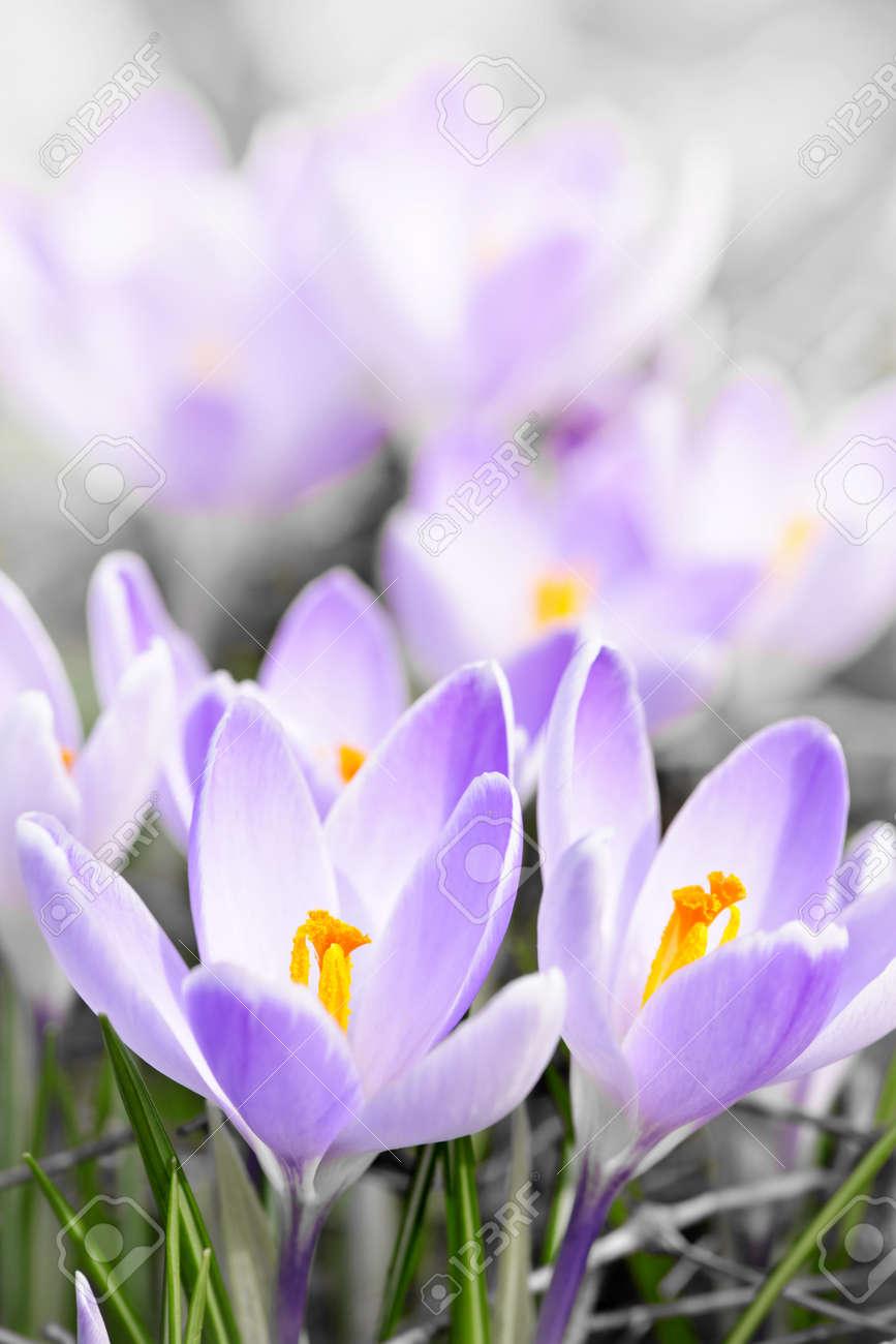 Closeup of beautiful purple crocus flowers blossoming Stock Photo - 15059509