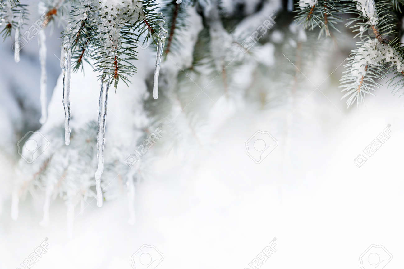 Christmas Winter Background With Icicles Hanging From Spruce.. Stock ...