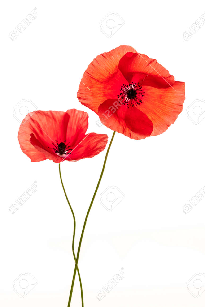 Two Red Poppy Flowers Isolated On White Stock Photo Picture And