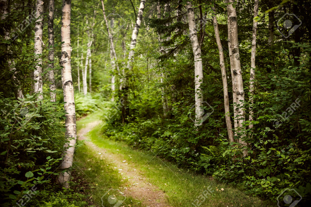 Hiking trail in lush green summer forest with white birch trees Stock Photo - 27340395