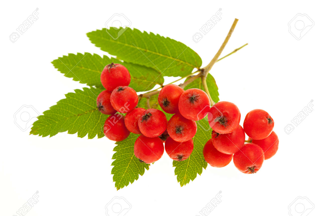 Red mountain ash or rowan berries isolated on white background Stock Photo - 32675287