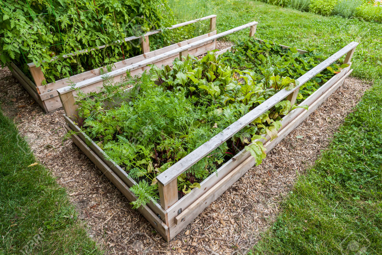 backyard vegetable garden in wooden raised beds or boxes stock