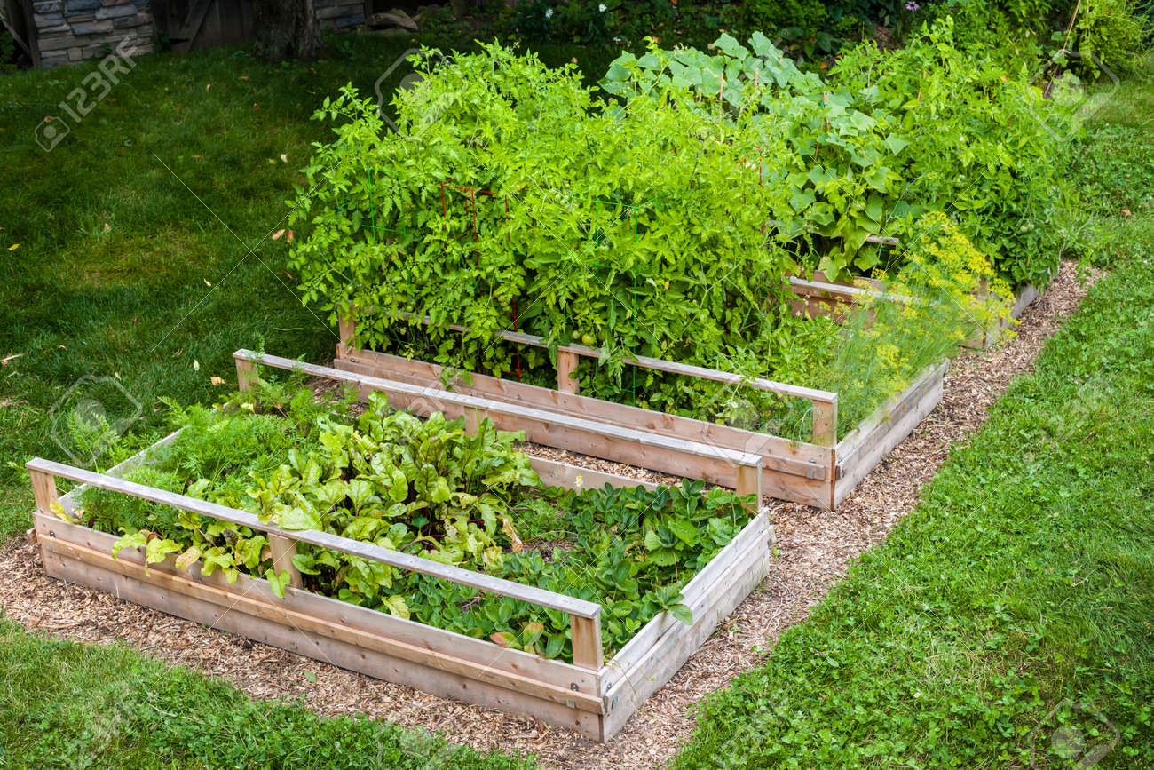Three raised garden beds growing fresh vegetables in a backyard Stock Photo - 36111270