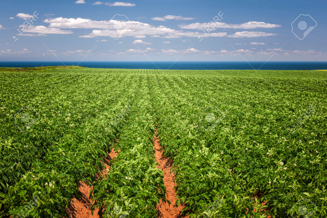 Rows of potato plants growing in large farm field at Prince Edward Island, Canada - 36373260