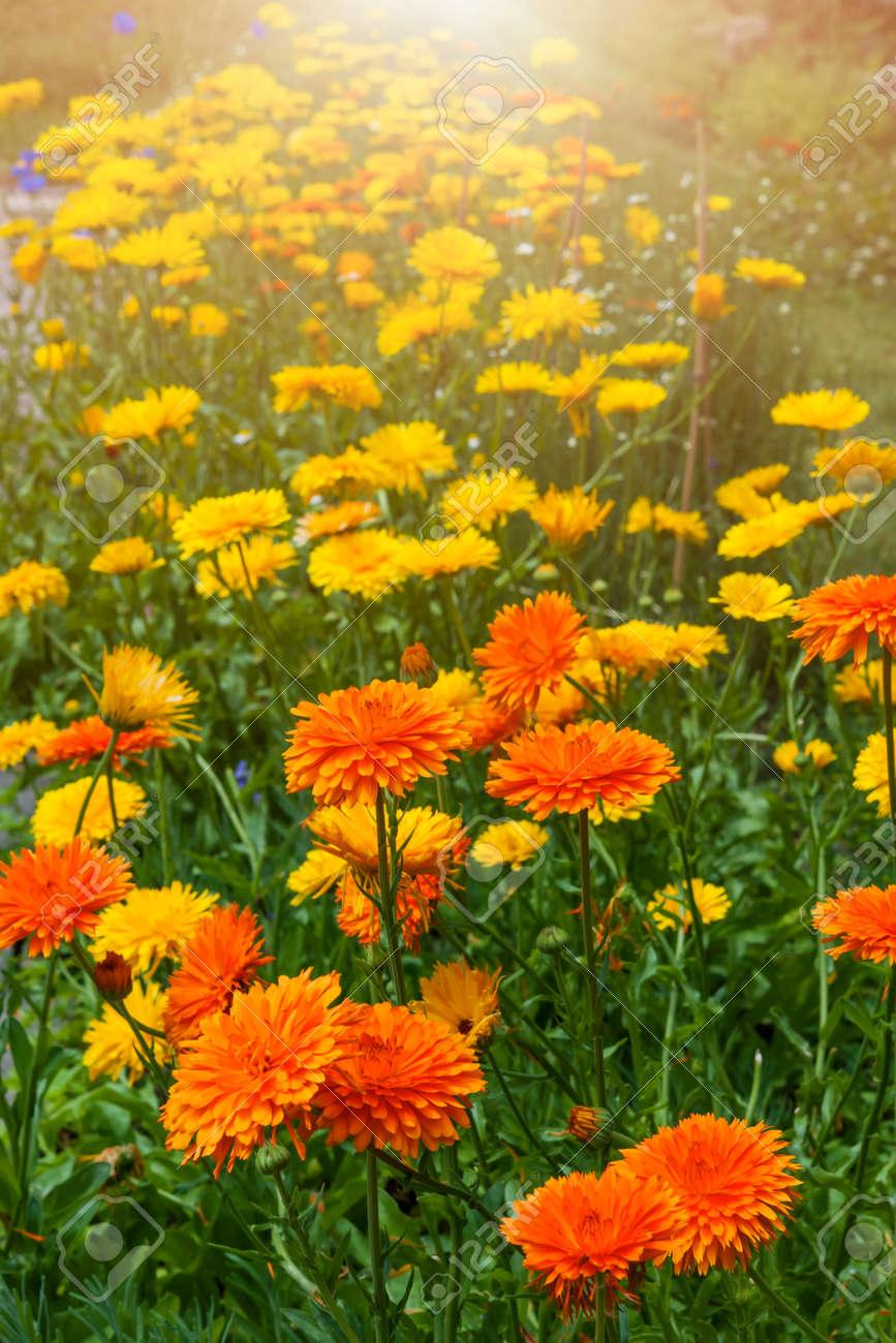 Flores De Calendula Medicinales Amarillas Y Anaranjadas Que Crecen