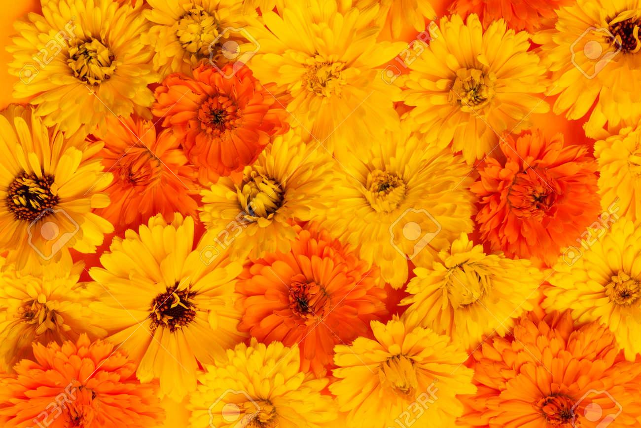 Calendula O Maravilla Flores Medicinales Amarillas Y Naranjas Como