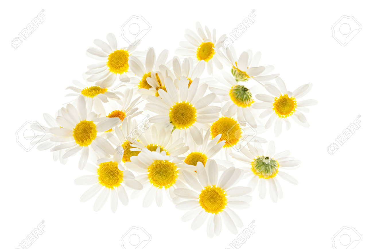 Pile of fresh medicinal roman chamomile flowers isolated on white background - 41457918