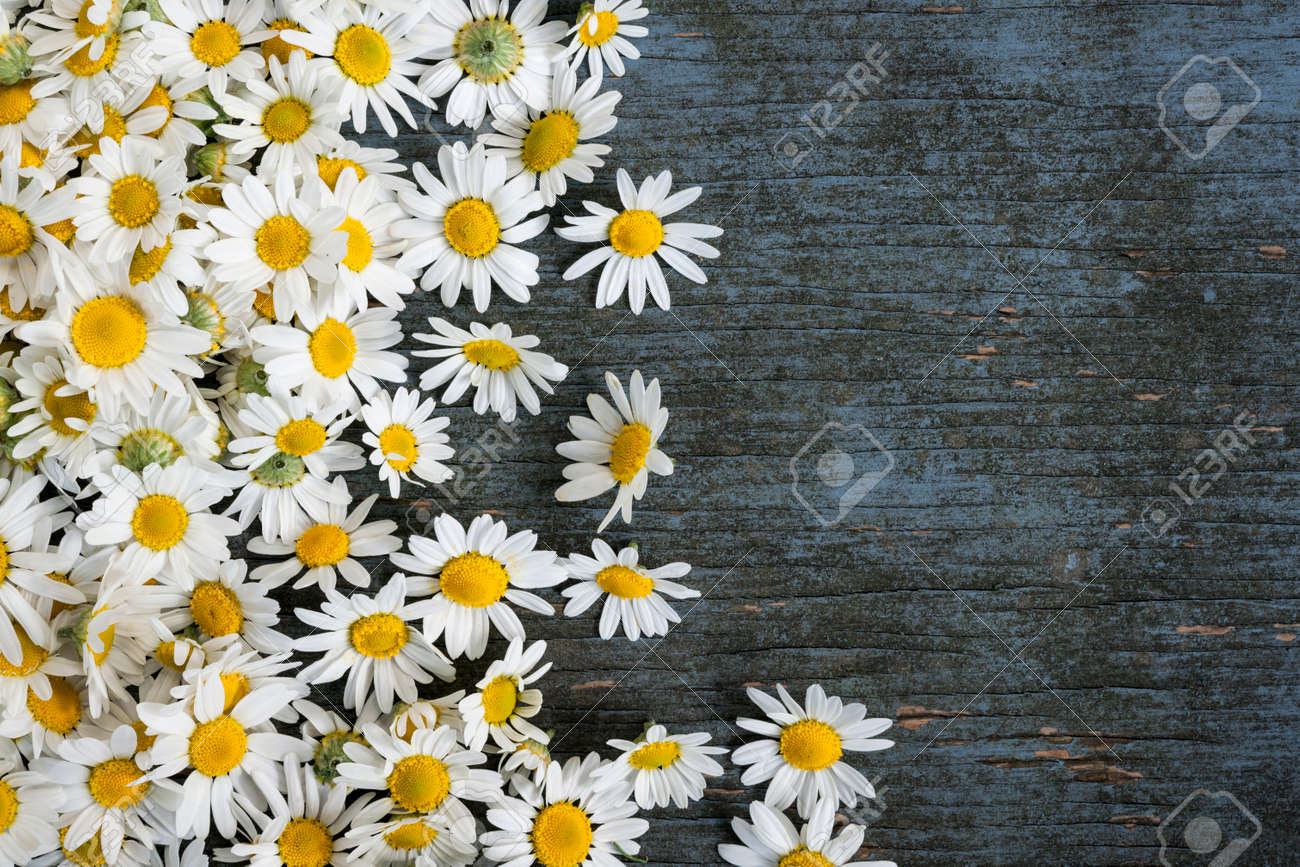 Fresh medicinal roman chamomile flowers scattered on blue rustic wooden background with copy space - 41640951