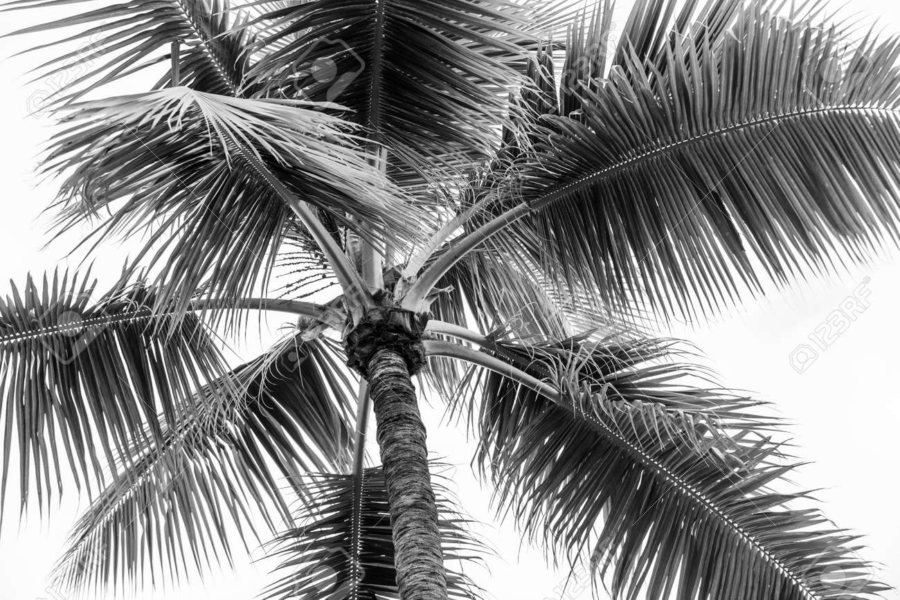 Top of palm tree on cloudy sky background in black and white - 48629789
