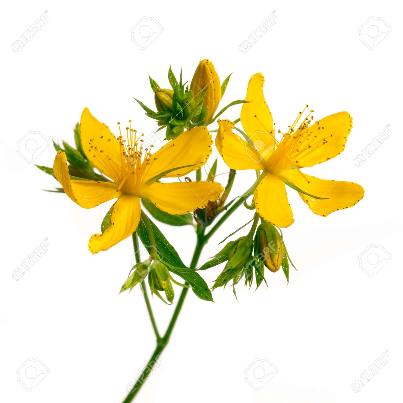 Fresh Medicinal Plant St Johns Wort Branch Closeup With Yellow