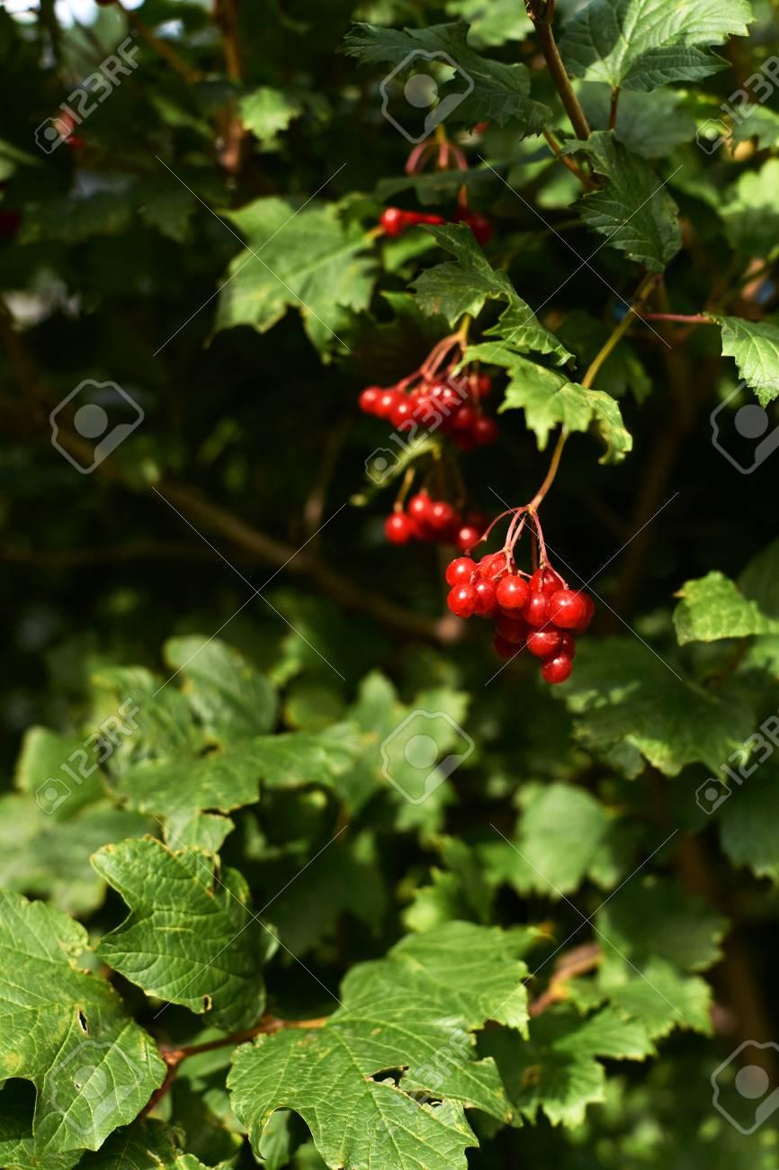 Tree Viburnum Bright Juicy Greens Small Red Berries Stock Photo