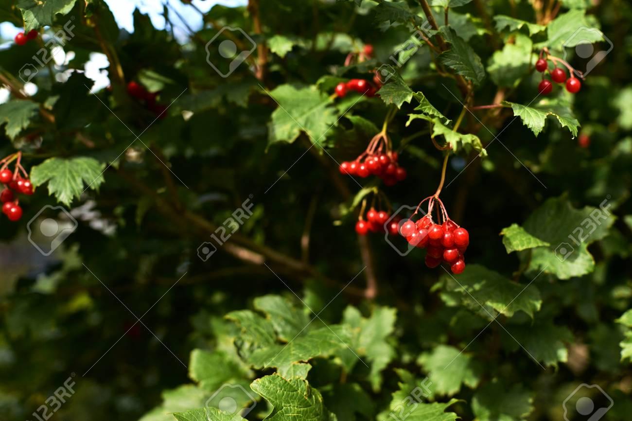 Bright Juicy Greens Tree Viburnum Small Red Berries Stock Photo